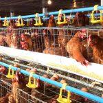 Chế phẩm vi sinh AT-YTB: Hiệu quả trong xử lí chất thải chăn nuôi