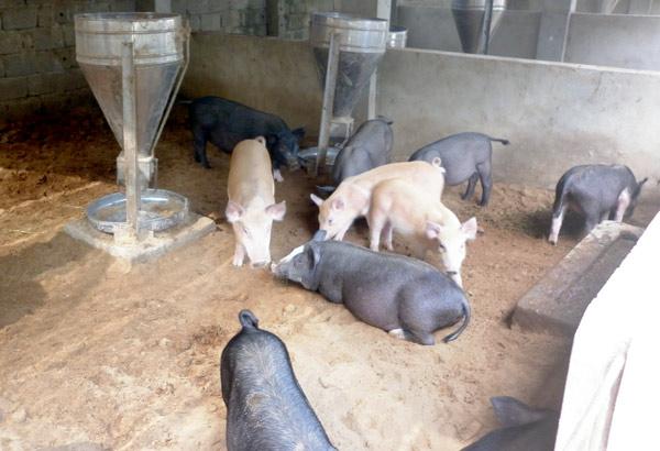 Hợp tác xã Quý Long, thôn Hòa Mục 2, xã Thái Long (TP Tuyên Quang) chăn nuôi lợn đen trên nền đệm lót sinh học bảo đảm vệ sinh môi trường.