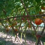 Ứng dụng chế phẩm vi sinh AT-YTB trên cây trồng