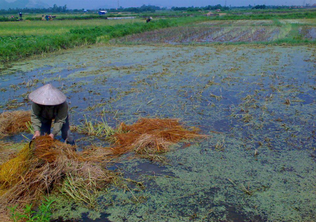 Xử lý rơm rạ tại đồng ruộng bằng chế phẩm vi sinh xã Hoàng Quế huyện Đông Triều tỉnh Quảng Ninh