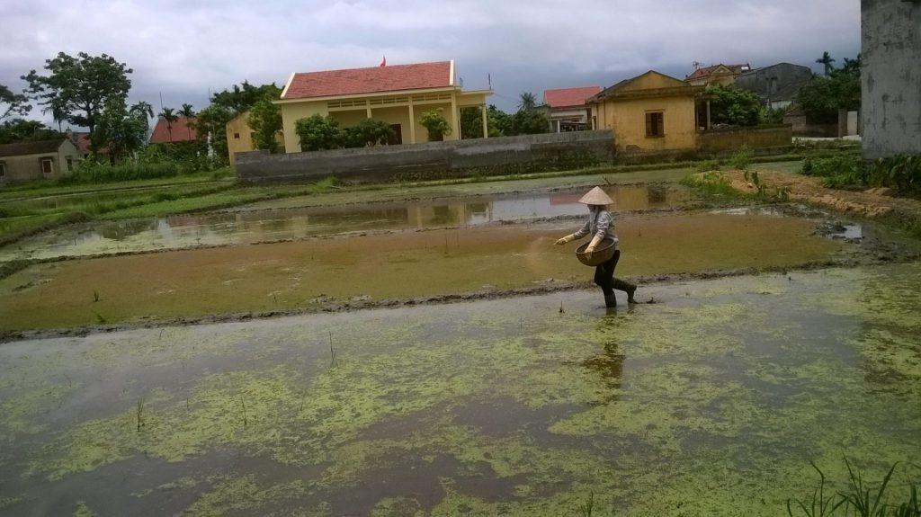 Các hộ nông dân Hoàng Quế trực tiếp xử dụng chế phẩm vi sinh AT-YTB trên các thửa ruộng của mình