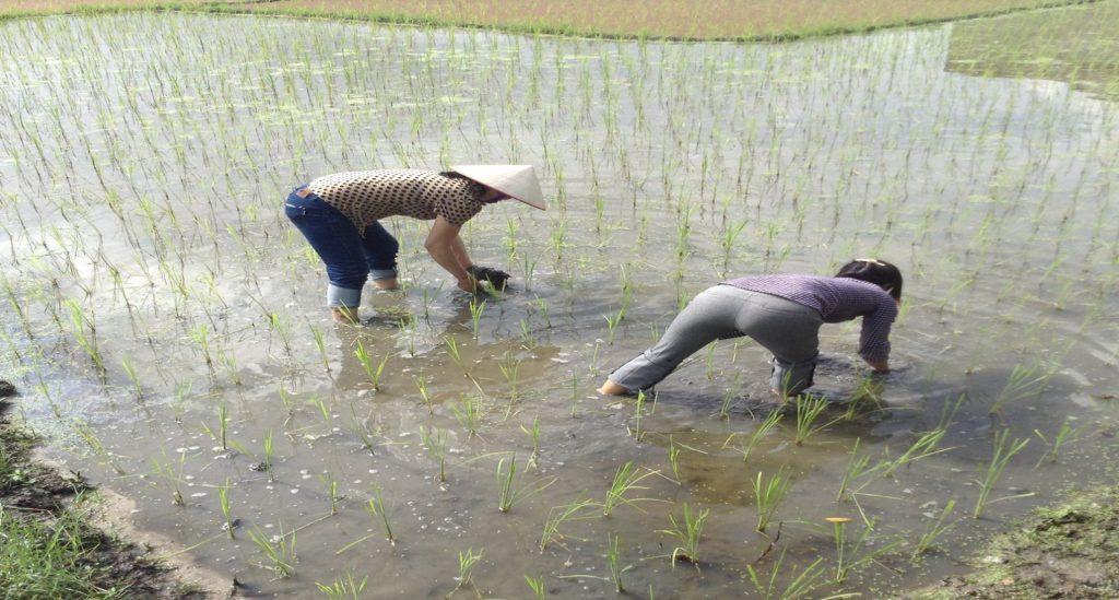 Lấy bùn tại ruộng xem kết quả xử lý rơm rạ trên ruộng (xã Hoàng Quế - Đông Triều - Quảng ninh)