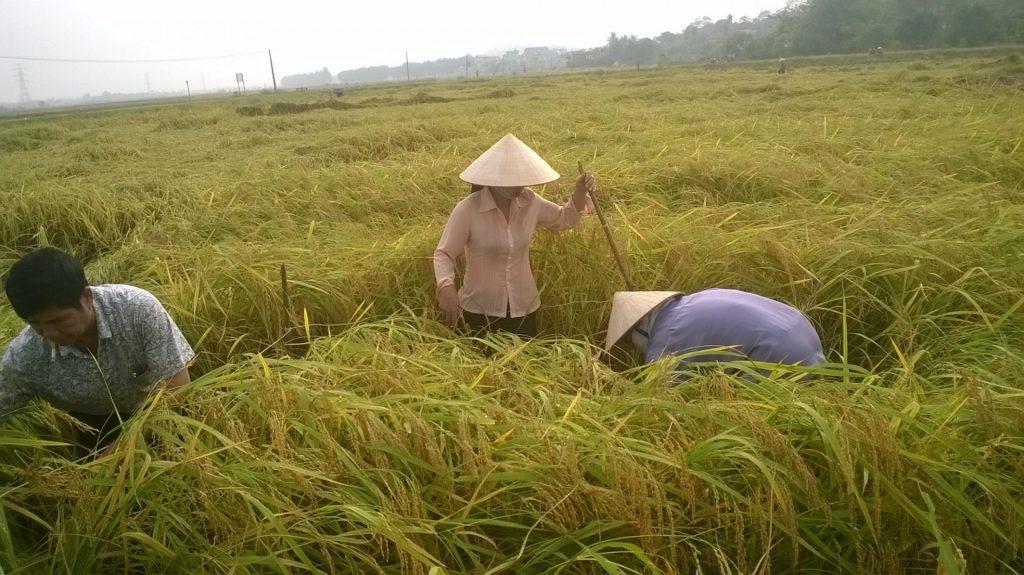 Cây lúa được sử dụng chế phẩm vi sinh AT-YTB tại xã Nguyễn Huệ, Đông Triều, Quảng Ninh