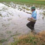 Xử lý rơm rạ trên đồng ruộng tại tỉnh Nam Định