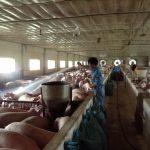 Xử lý VSMT trang trại lợn giống Dabaco