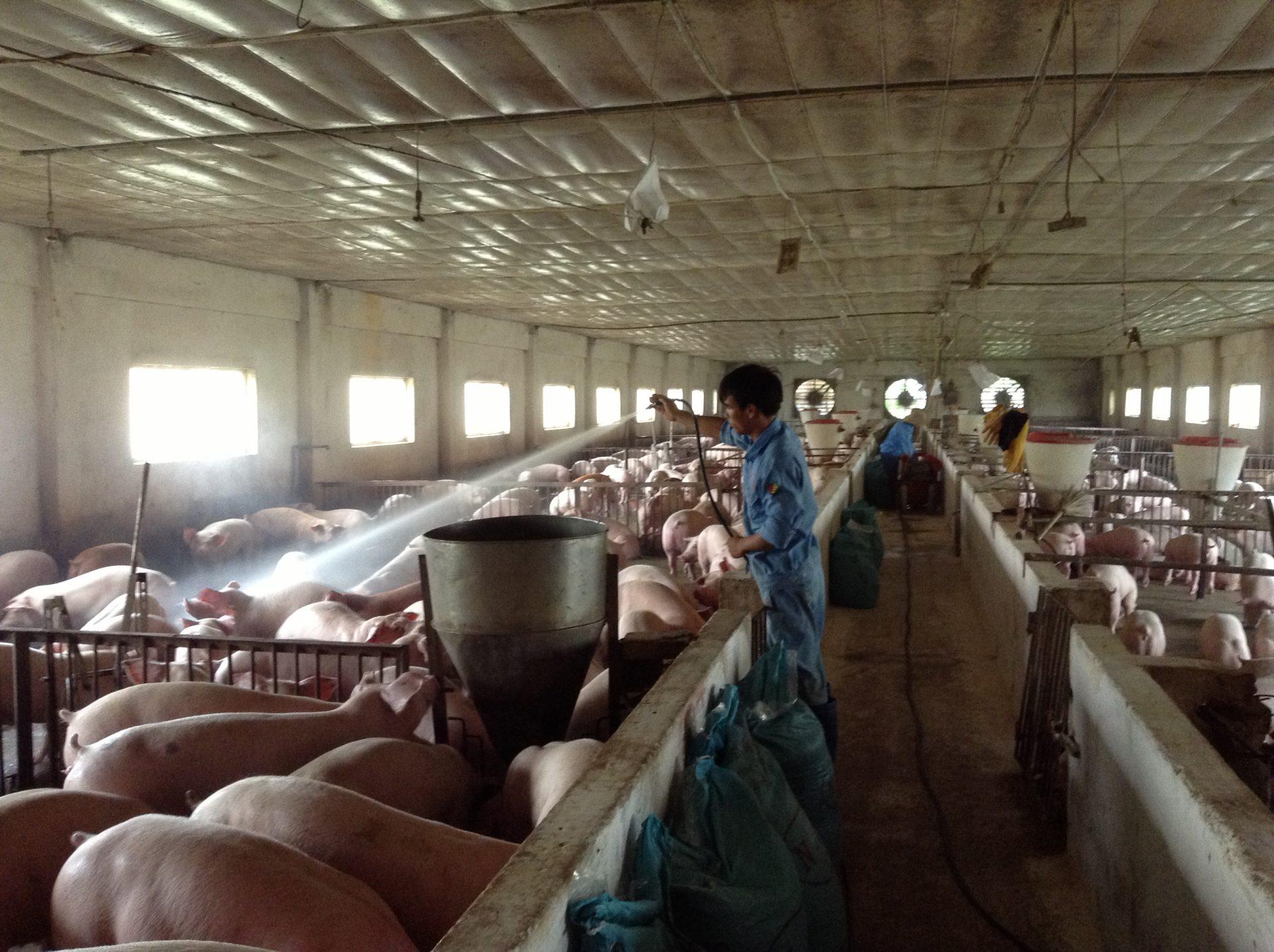 Dùng chế phẩm AT-YTB dạng dung dịch để xử lý toàn bộ khu vực chuồng nuôi