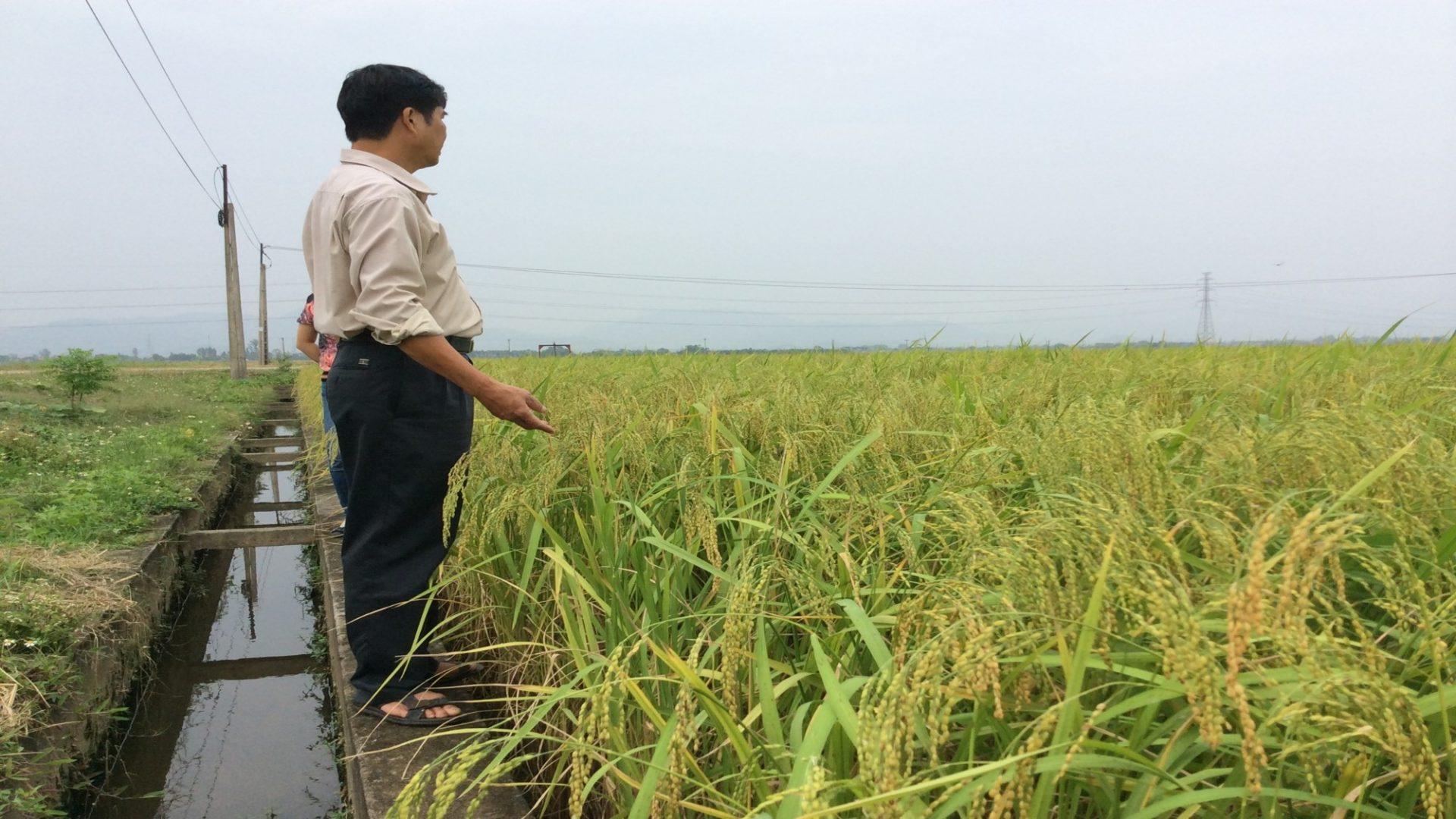 Cây lúa khi sử dụng chế phẩm vi sinh