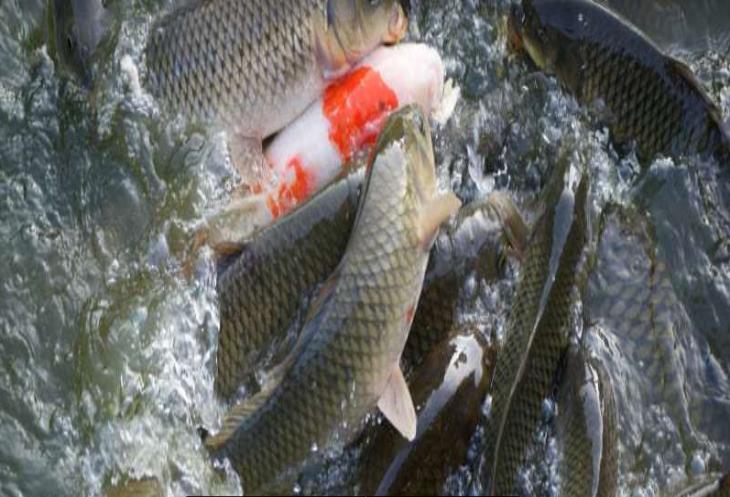 Cá tại thời điểm nghiệm thu