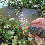 Giải pháp nuôi ốc bươu đơn giản giúp đảm bảo chất lượng, sản lượng