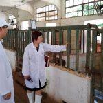 Trung tâm nghiên cứu bò và đồng cỏ Ba Vì triển khai vi sinh AT-YTB ở trang trại và các hộ chăn nuôi