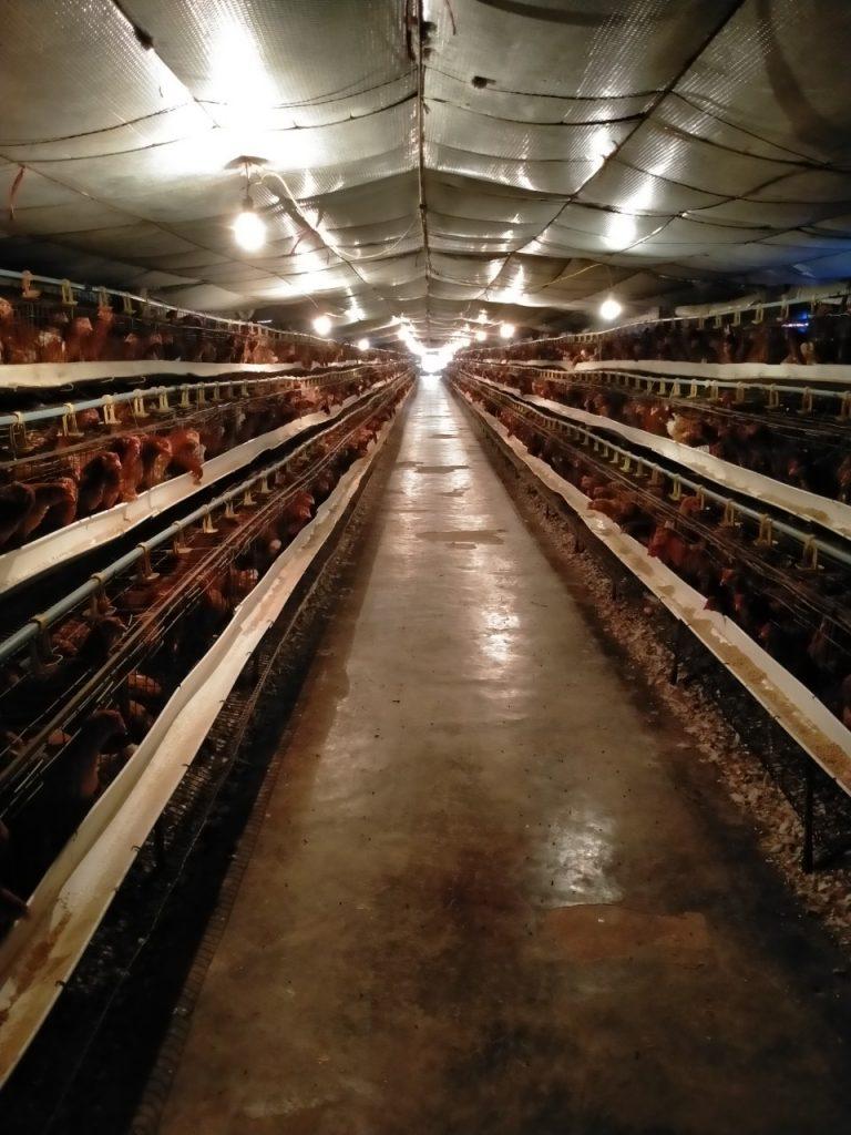 Trang trại gà của chị Hương rất thoáng, không bốc mùi hôi thối, không ruồi nhặng
