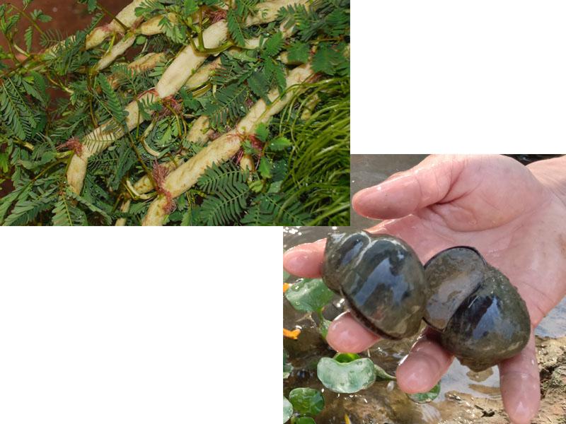 Mách nhỏ nhà nông – Hiệu quả bất ngờ từ việc trồng rau rút trong ao nuôi ốc