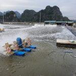 Giải pháp ức chế hiệu quả tảo lam và ổn định màu bã chè cho nước nuôi tôm
